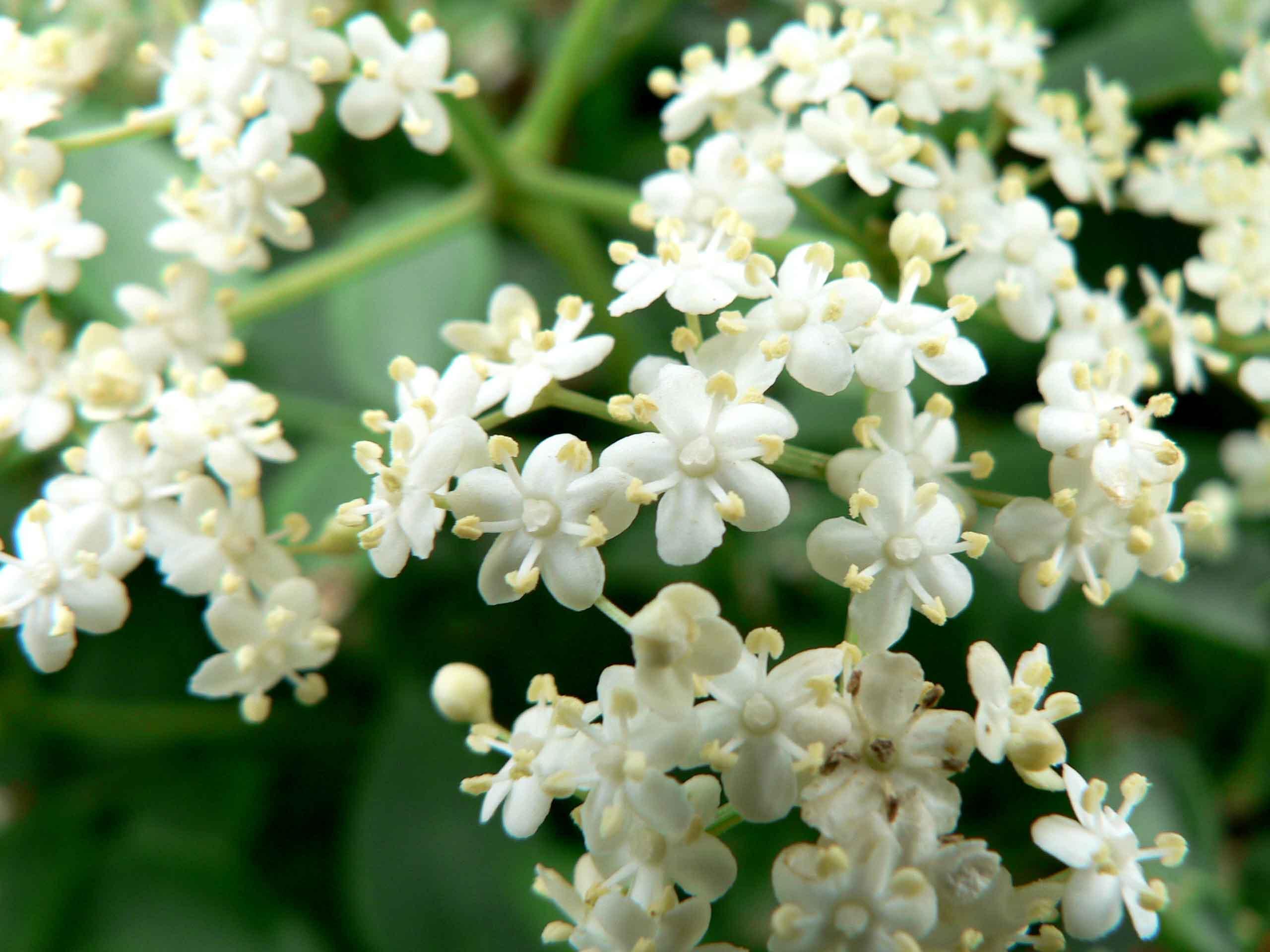 Types of Elderflower